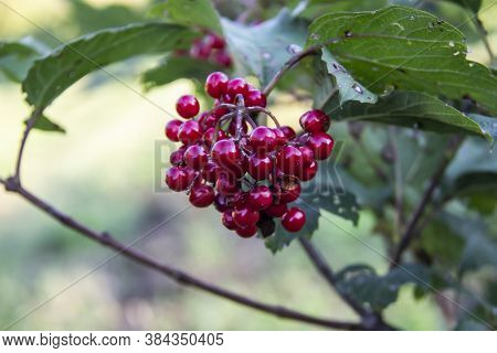 Viburnum Opulus Berries And Leaves Outdoor In Summer. Bunch Of Red Viburnum Berries On A Branch With