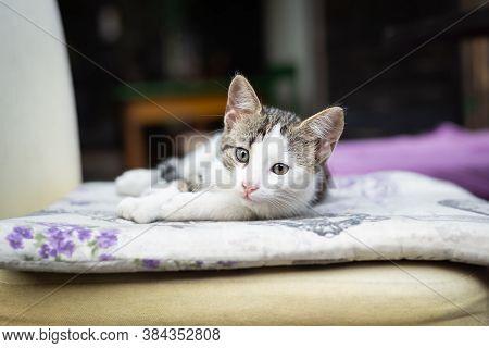 Close Up Of White Kitten. White Kitten Portrait. Close Up Of Kitten On Chair. Cat. Kitten Laying On
