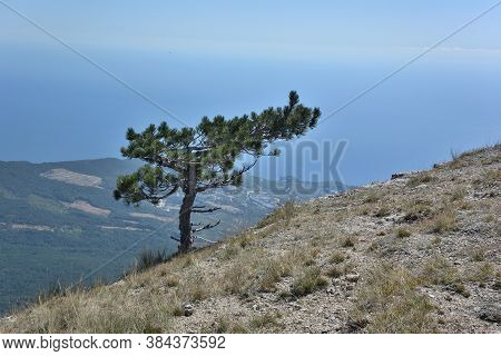 Pines On The Plateau Of Ai-petri In The Vicinity Of Yalta