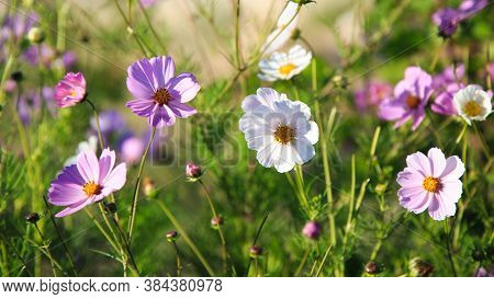 Cosmeya Flower, Brightly Lit By The Sun. Natural Blooming Background