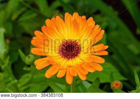 Orange Camomile Flower Bed Flower In Garden