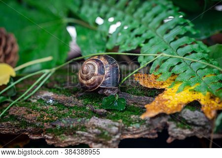 A Large Snail On The Bark Of A Tree. Photo In The Wild. Burgudian, Grape Or Roman Edible Snail From