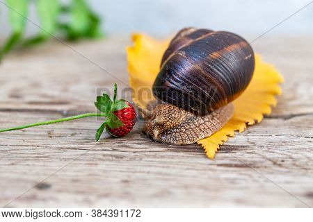 A Large Snail On A Tree Feeds On A Face Of A Strawberry. Burgudian, Grape Or Roman Edible Snail From
