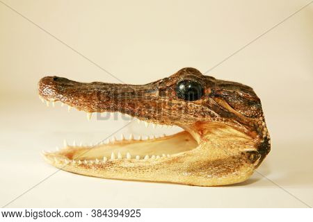 Alligator Head. Dried Alligator or Crocodile head with its mouth open showing its sharp teeth.