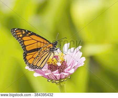 A Beautiful Monarch Butterfly Pollinating A Flower.