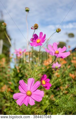 Beautiful Pink Cosmos Flower, Cosmos Bipinnatus With Blurred Background