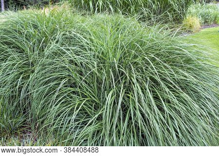 Plant Or Common Reed, In The City Park. A Perennial Wetland Grass In The Family Poaceae.