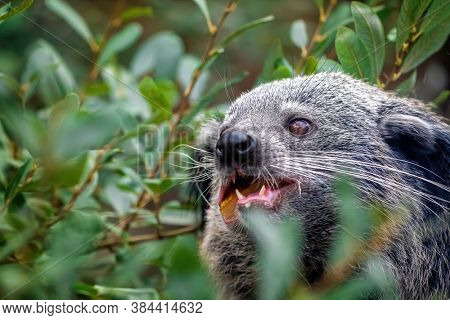 Binturong, Arctictis binturong, eating fruit. Also known as a bearcat, this animal is indigenous to South and South East Asia and is vulnerable in the wild.