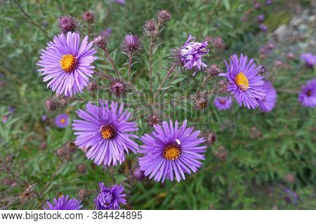 Closed Buds And Purple Flowers Of New England Aster In September