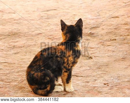 A Lone Stray Calico Kitten Turning Away