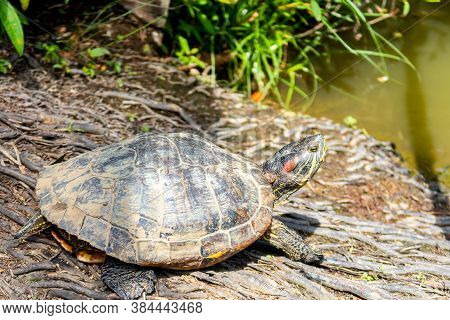 Colorful Red-eared Slider Turtle (trachemys Scripta Elegans, Red-eared Terrapin, Turtle, Red-eared T
