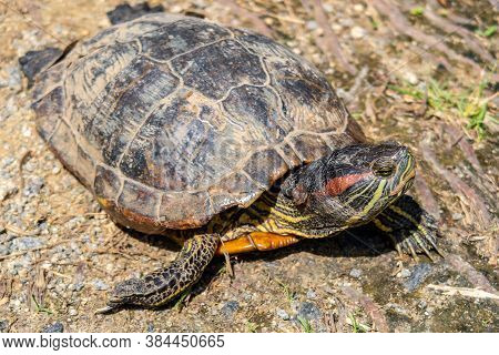 Close-up View Of Red-eared Slider Turtle (trachemys Scripta Elegans, Red-eared Terrapin, Turtle, Red