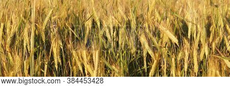 Beautifal Wheat Field With Yellow Spikelets And Fortest. Banner. Background. The Concept Of Growing