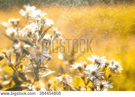 Beautiful Camomile Daisy Flowers Under Summer Rain. Water Drops Make Bokeh Effect. Soft Focus.