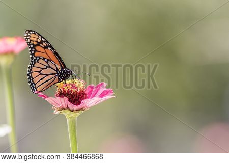 Male Monarch Butterfly On Pink Zinnia Flower Soft Green Background Left Side Copy Space