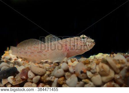 Bucchich\'s Mediterranean Sea Goby Fish - Gobius Bucchichi