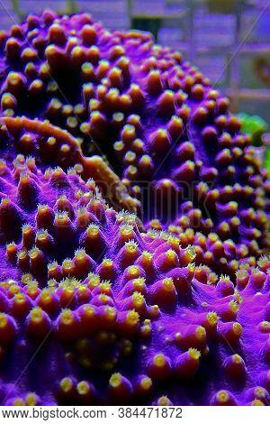 Lakers Scroll Coral In Reef Aquarium Tank - Turbinaria Sp.
