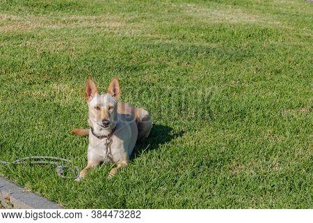 Dog Warren Hound On The Grass In Summer Outdoors