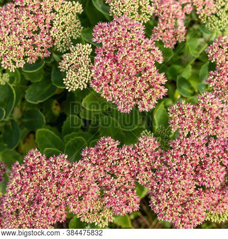 Sedum Prominent Sedum Spectabile. Ornamental Garden Plants. Flowering Period