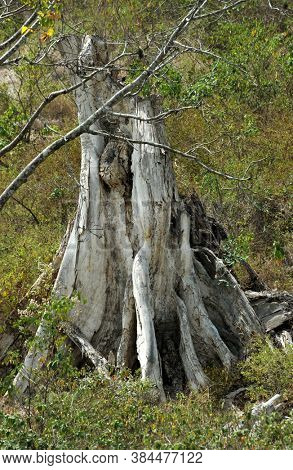 Dry trunk of an old tropical tree