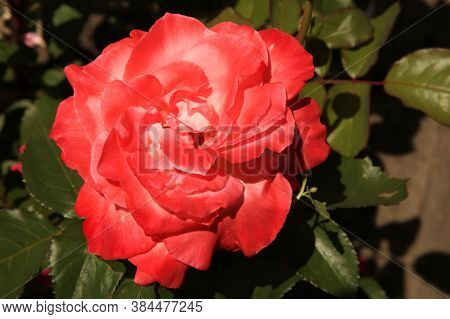 Close-up Of Single Bright Reddish Peach Garden Rose (rosa) Outside