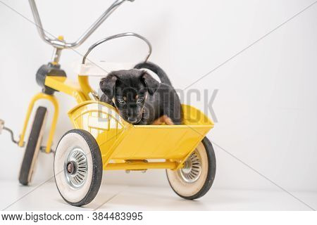 Puppy Portrait Jack Russell Terrier In The Back Of A Yellow Tricycle On A White Background