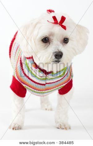 Maltese Terrier Wearing Knitted Jumper