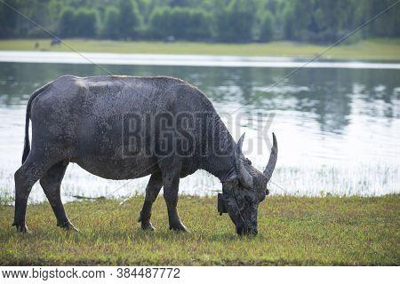 Asian Buffalo Eat Grass At The Lake.,thai Buffalo Portrait,thai Buffalo In The Countryside,