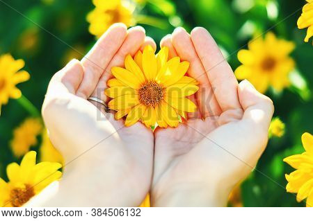 Flower In Your Hands Between Your Fingers On A Blurry Green Background. Yellow Camomile In The Hands