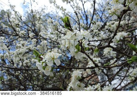 Florescence Of Sour Cherry Tree In Mid April