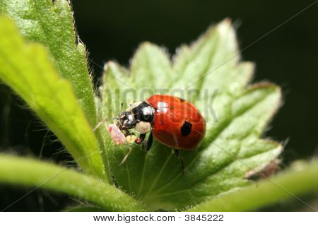 Two-Spotted Ladybird With Prey