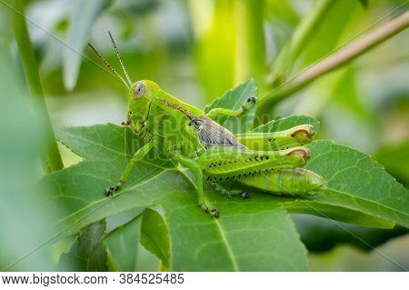 Differential Grasshopper (melanoplus Differentialis), Nymph. Raleigh, North Carolina.