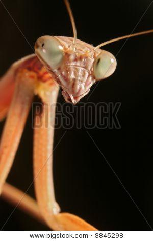 A Chinese Mantis (Tenodera Aridifolia Sinensis)