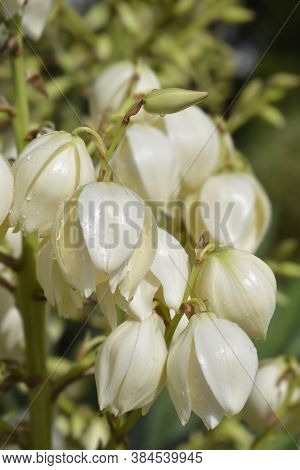 Spanish Dagger Flowers - Latin Name - Yucca Gloriosa