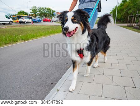 Portrait of Australian Shepherd dog on leash while walking outdoors. Beautiful adult purebred Aussie Dog with female owner in the city.