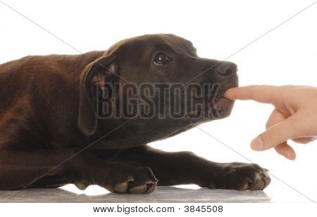 mixed breed lab cross puppy nipping on finger - naughty puppy poster