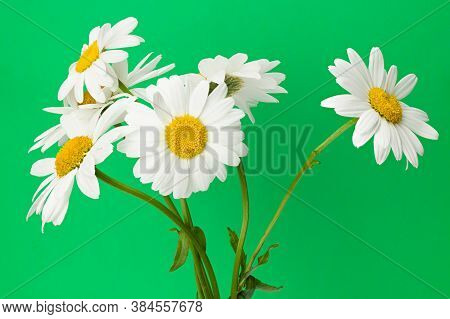 White Camomiles On Green Background. Full Depth Of Field