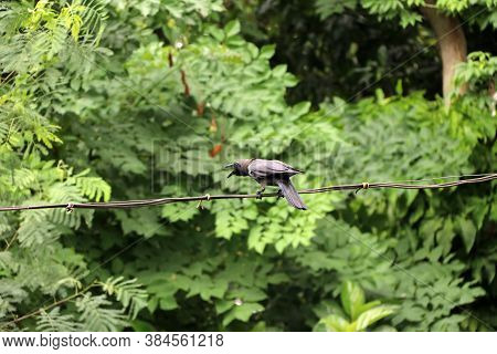 Black Crow Open The Beak And Perch On The Wire With Green Leaves Background. It Is A Large Perching