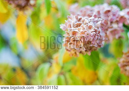 A Hydrangea Branch In The Garden Is Covered With Frost. The First Frost In The Fall. Autumn Backgrou