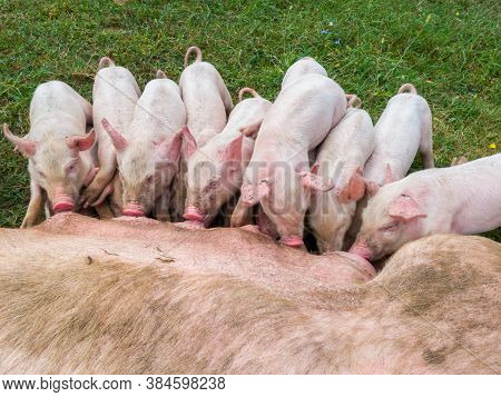Pig Mother Feeds The Newborn Piglets With Their Milk. Small Strong Pigs Suck A Healthy Sow. Little P