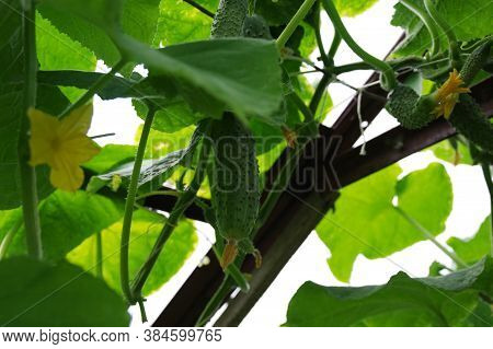Cucumbers On A Branch In The Greenhouse. Growing Cucumbers In The Greenhouse. Maturation Of Cucumber