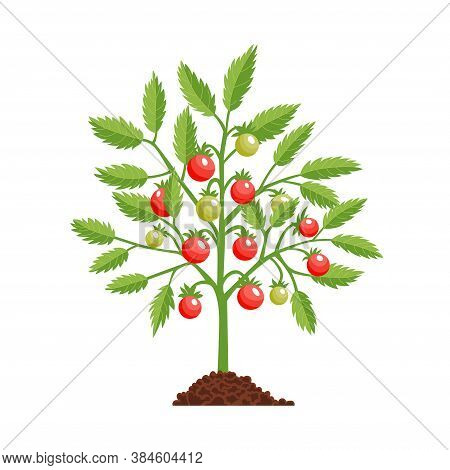 Tomato Growth Stage Plant. Red Tomato. Fruiting Stage. Ripening Period. Fruiting Plant With Ripe Red