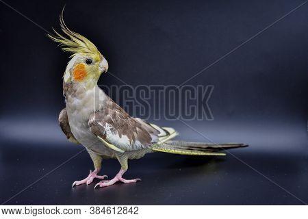 Parrot Cockatiel Close-up On Black Background, Parrot Cockatiel