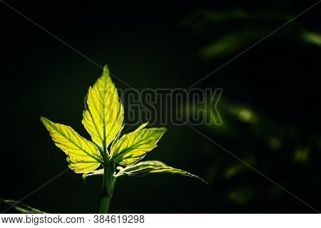 Spring Natural Background With Young Green Leaves Against Backlight, Blurred Image, Selective Focus