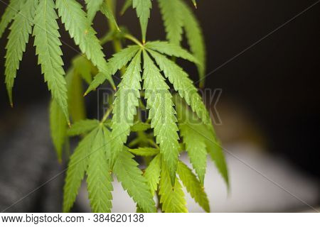 Marijuana Grows In Natural Light. Cannabis On The Street. The Leaves Contain Alkaloids.