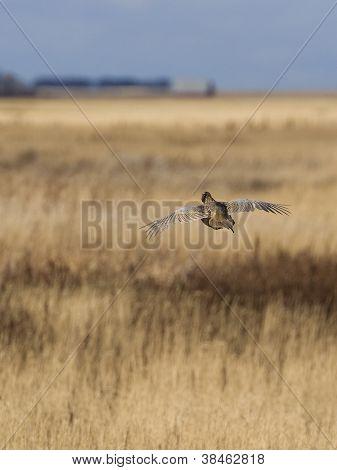 Escaping Pheasant