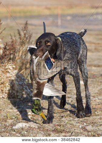 Hunting Dog and a Mallard