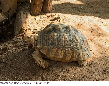 Closeup Sulcata Tortoise Or African Spurred Tortoise On The Ground