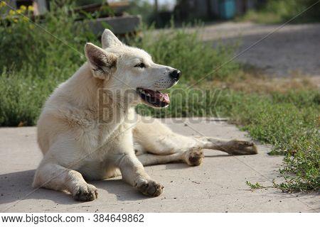 A White Yard Dog Basks In The Sun.