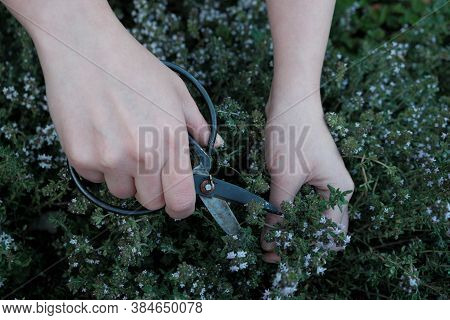 Thyme Herb. Spicy Herbs In The Garden. Growing And Cutting Thyme. Hands With Black Garden Shears And